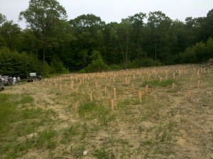 Tree tubes protect a new planting of American chestnut trees