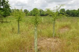 Tree tubes on American plum seedlings