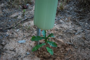 Sawtooth oak seedling getting protection from tree tube