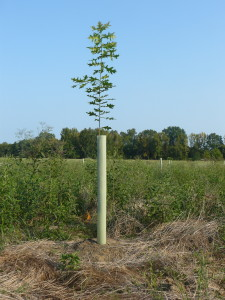 Ramrod straight hybrid white oak after emerging from a tee tube.