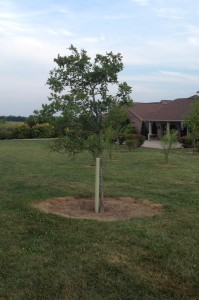 red oak grown without tree tube
