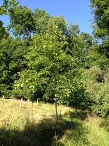 Red oak seedling grown in tree tube