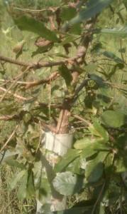 tree tube on sawtooth oak