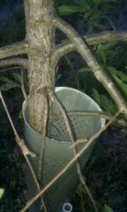 tree tube protecting sawtooth oak